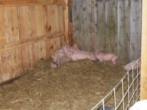 Little pigs springing from their beds