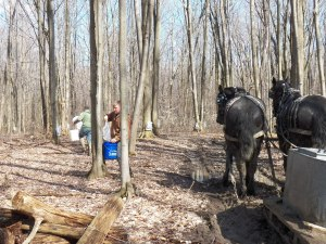 The horses help gather sap by voice command