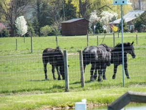 The horses enjoy the first grass of 2013