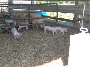Little pigs ready to wean