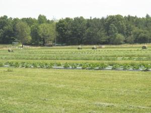 Hay and Pumpkins 2012