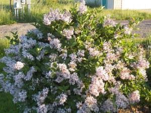 Dwarf lilac in bloom