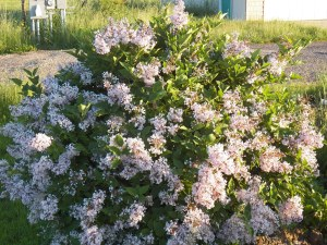 Dwarf lilac in bloom