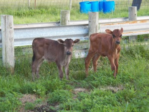 A couple of steer calves looking for dinner