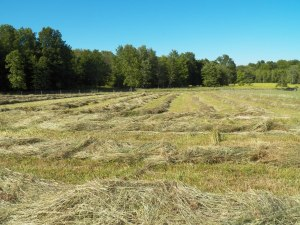 Hay almost ready to bale