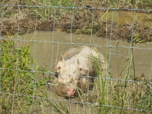 One of the gilts enjoying a summer day!