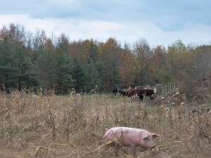 Cows and pigs not such strage bedfellows.