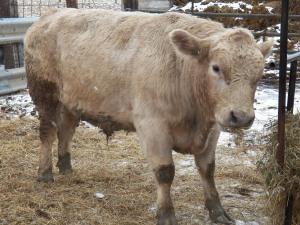 Solomon  Murry Gray bull
