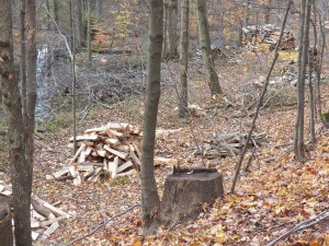 Sugarwood, cut last fall, waiting to be moved to the woodshed
