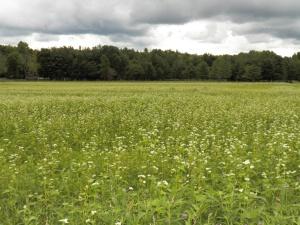 Buckwheat Blooms in July