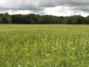 Buckwheat Blooms in July