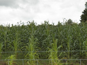 Our corn towers above the five foot fence