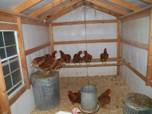 Our hens and Mr. Tom