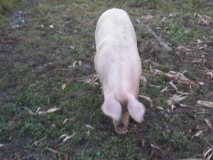 One of our gilts enjoying her pasture