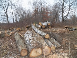 Top logs waiting to be worked up.