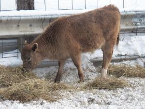 Little bull munching hay
