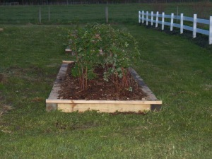 Newly planted raspberries