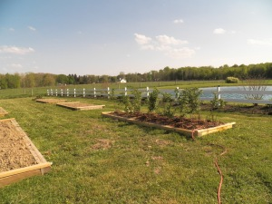 Newly planted raspberries, thirsty no more