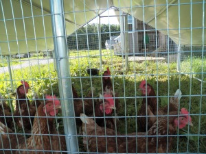 Our hens inside their portable shelter