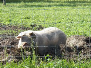 Momma Pig enjoying a day out