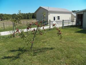 Little apple tree...loaded
