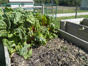 Swiss Chard still going strong