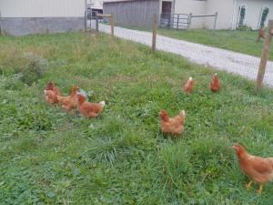 Hens enjoying  their new park