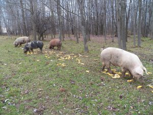 Part of the pig herd enjoying dinner