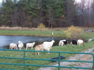 The sheep spend a day by the pond